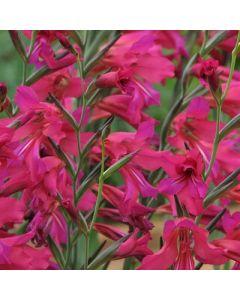 Gladiolus communis subsp byzantinus (Dark Form)