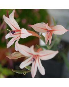 Gladiolus_miniatus