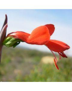Gladiolus_splendens