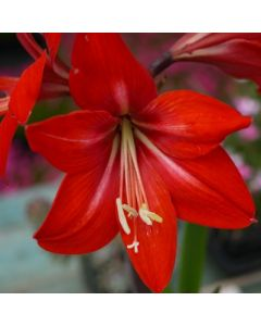 Hippeasprekelia_red_beauty.jpg