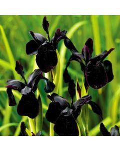 Iris_Black_Magic