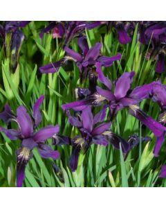 Iris_chrysographes_around_midnight.jpg