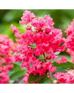 Lagerstroemia_indica_Coral