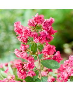 Lagerstroemia_indica_Pink