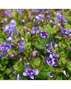 Lindernia_grandiflora