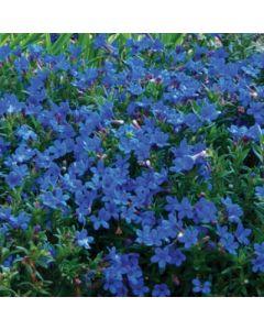 Lithodora_diffusa_compact_Blue