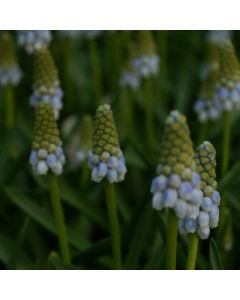Muscari_Peppermint