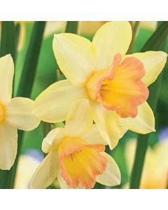 Narcissus_Blushing_Lady