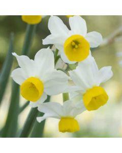 Narcissus_canaliculatus