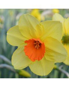 Narcissus_Kedron