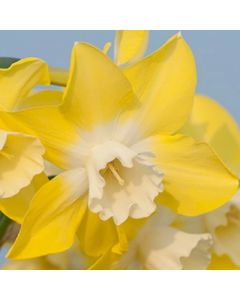 Narcissus_Pipit