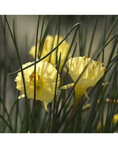 Narcissus_romieuxii SF370