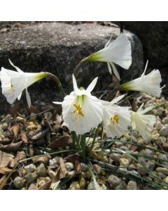 Narcissus_romieuxii_ssp_Albidus