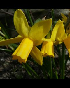Narcissus_Tiny_Bubbles