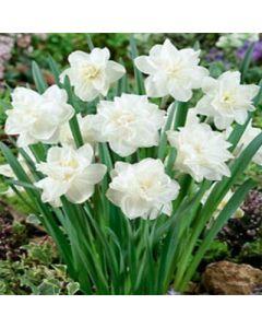 Narcissus_White_Medal
