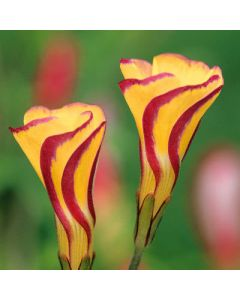 Oxalis_versicolor_Golden_Cape