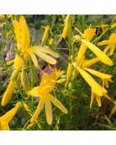 Penstemon_pinifolius_Mersea_Yellow