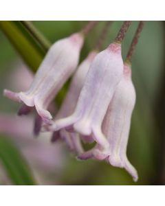 Polygonatum_cirrhifolium