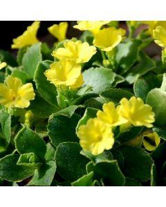 Primula_auricula_Blairside_Yellow
