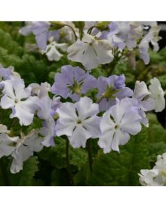 Primula_sieboldii_spring_song.jpg