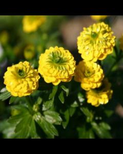 Ranunculus_acris_Flore_pleno