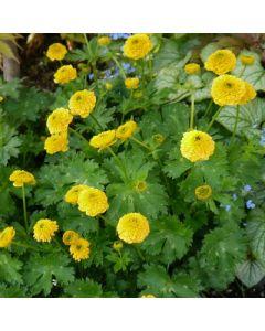 Ranunculus_constantinopolitanus_plenus.jpg
