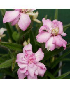 Rhodohypoxis_Bridal_Bouquet