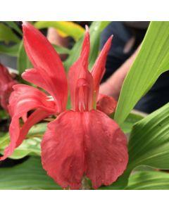 Roscoea purpurea Gabazon
