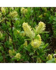 Salix_arbuscula