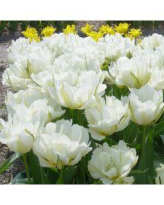 Tulipa_fosteriana_Exotic_Emperor