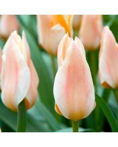 Tulipa_greigii_Fur_Elise