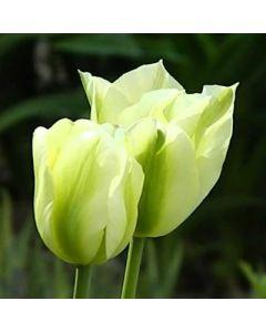 Tulipa_viridiflora_Spring_Green