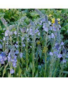 Veronica_gentinoides_Little_Blues