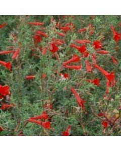 Zauschneria californica Western Hills