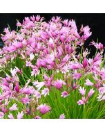 Allium_mairei_amibile.jpg