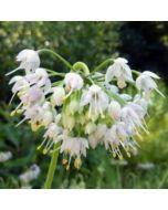 Allium_cernuum_Alba