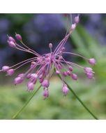 Allium_huber_morathii