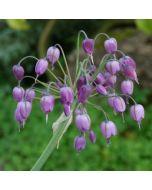 Allium_macranthum