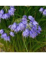 Allium_sikkimense