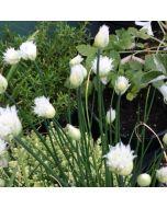 Allium_schoenoprasum_silver_chimes
