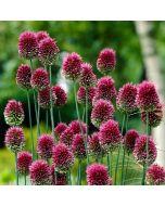 Allium_sphaerocephalum_Purple_Glow