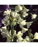 Primula alpicola Alba