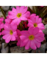 Primula_rosea_grandiflora.jpg