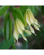 Uvularia_grandiflora_pallida.jpg