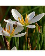 /Zephyranthus_candida.jpg